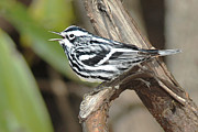 Wood Warbler Framed Prints - Black and White Warbler Framed Print by Alan Lenk