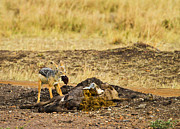 One Animal Pyrography Posters - Black- Backed Jackal Poster by Kongsak Sumano