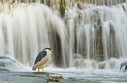 Birds - Black-crowned Night Heron by Mircea Costina Photography
