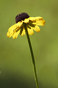 Susan Photos - Black-eyed Susan by Tony Cordoza