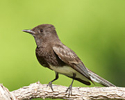 Wild Birds Prints - Black Phoebe Print by Steve Kaye