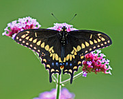 Karen Adams Posters - Black Swallowtail Butterfly  Poster by Karen Adams