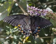 Terry Jacumin - Black Swallowtail