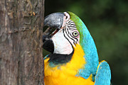 Macaw Prints - Blue and Yellow Macaw Portrait Print by James Brunker