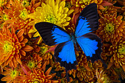 Blue Wings Prints - Blue butterfly on mums Print by Garry Gay