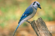 Bluejay Metal Prints - Blue Jay Metal Print by Millard H. Sharp