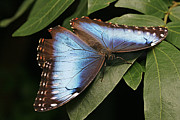 Marco Framed Prints - Blue Morpho Butterfly Framed Print by Cindi Ressler