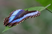 Blue Morpho Butterfly Print by Juergen Roth
