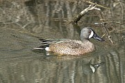 Duane Klipping - Blue-winged Teal