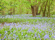 Andrew Gaylor - Bluebell Wood