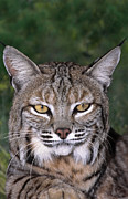 Felis Rufus Prints - Bobcat Portrait Wildlife Rescue Print by Dave Welling