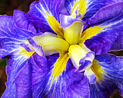 Iris Digital Art Prints - Boothbay Violet Print by ABeautifulSky  Photography