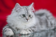 Europe Digital Art - British Longhair Kitten by Melanie Viola