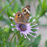 Insect On Flower Art - Buckeye Butterfly Square by Carol Groenen