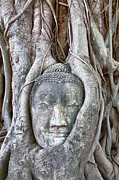 Statue Portrait Prints - Buddha Head in Tree Print by Fototrav Print