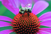 Insects Digital Art Originals - Bumblebee on Flower by Crystal Wightman