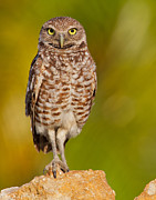 Concern Prints - Burrowing Owl Print by Joshua Clark