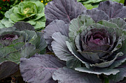 Purple And Green Photos - Cabbage Patch by Fraida Gutovich