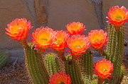 Colorful Photos Originals - Cactus in Bloom by Bob Marquis