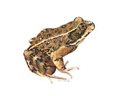 Biology Originals - California Red-legged Frog by Cindy Hitchcock