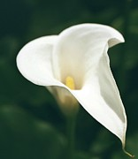 Calla Lilly Digital Art Framed Prints - Calla Lilly Framed Print by Cathie Tyler