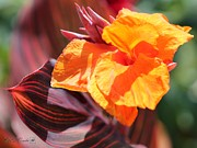 Canna Framed Prints - Canna Lily named Durban Framed Print by J McCombie
