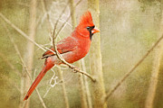 Male Northern Cardinal Photo Framed Prints - Cardinal Framed Print by Kimberly Chason