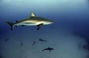Greg Amptman - Caribbean Reef Shark