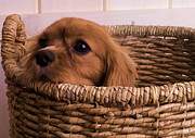 Spaniel Framed Prints - Cavalier King Charles Spaniel Puppy in basket Framed Print by Edward Fielding