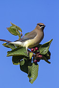 Tree With Birds Framed Prints - Cedar Waxwing Framed Print by Angie Vogel