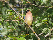 Cedar Waxing Framed Prints - Cedar Waxwing Framed Print by Lucy Howard