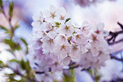 Cherry Blossom Prints - Cherry Blossom - Sakura - VanDusen Botanical Garden Print by May L