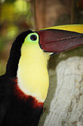 Toucan Framed Prints - Chestnut mandibled toucan portrait Framed Print by James Brunker