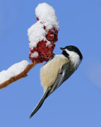 Black-capped Prints - Chickadee... Print by Nina Stavlund