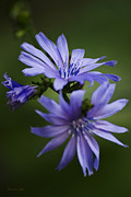 Violet Art Prints - Chicory Print by Christina Rollo