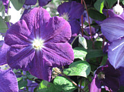 Dan De Ment - Clematis with Blazing...
