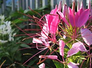 Cleome Flower Posters - Cleome named Cherry Queen Poster by J McCombie