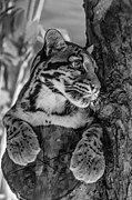 Nocturnal Animal Print Framed Prints - Clouded Leopard monochrome Framed Print by Steve Harrington