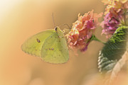 Oklahoma Digital Art Prints - Clouded Sulphur Butterfly Print by Betty LaRue