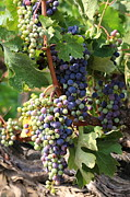 Vine Grapes Framed Prints - Colorful Grapes Framed Print by Carol Groenen