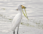 White Egret Posters - Colossal Catch Poster by Al Powell Photography USA