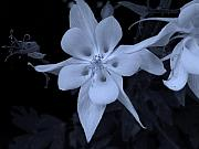 5 Star Prints - Columbine Print by Heather L Giltner