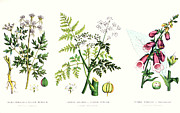 Medicine Painting Posters - Common Poisonous Plants Poster by English School