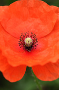 Paul Lilley Framed Prints - Common Poppy Framed Print by Paul Lilley