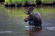 Bull Moose Posters - Cooling Off Poster by Jim Garrison