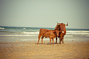 Animal Pyrography Posters - Cows On Sea Coast Poster by Raimond Klavins