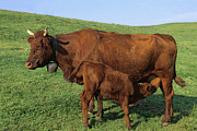 Pet Photo Prints - Cows salers Print by Bernard Jaubert