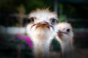 Ostrich Photos - Curiosity by Mountain Dreams