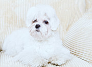 Maltese Puppy Photos - Cute Maltese by Monika Wisniewska
