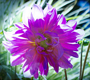 Photograph Of Dahlia Prints - Dahlia Print by Gary McCorkle